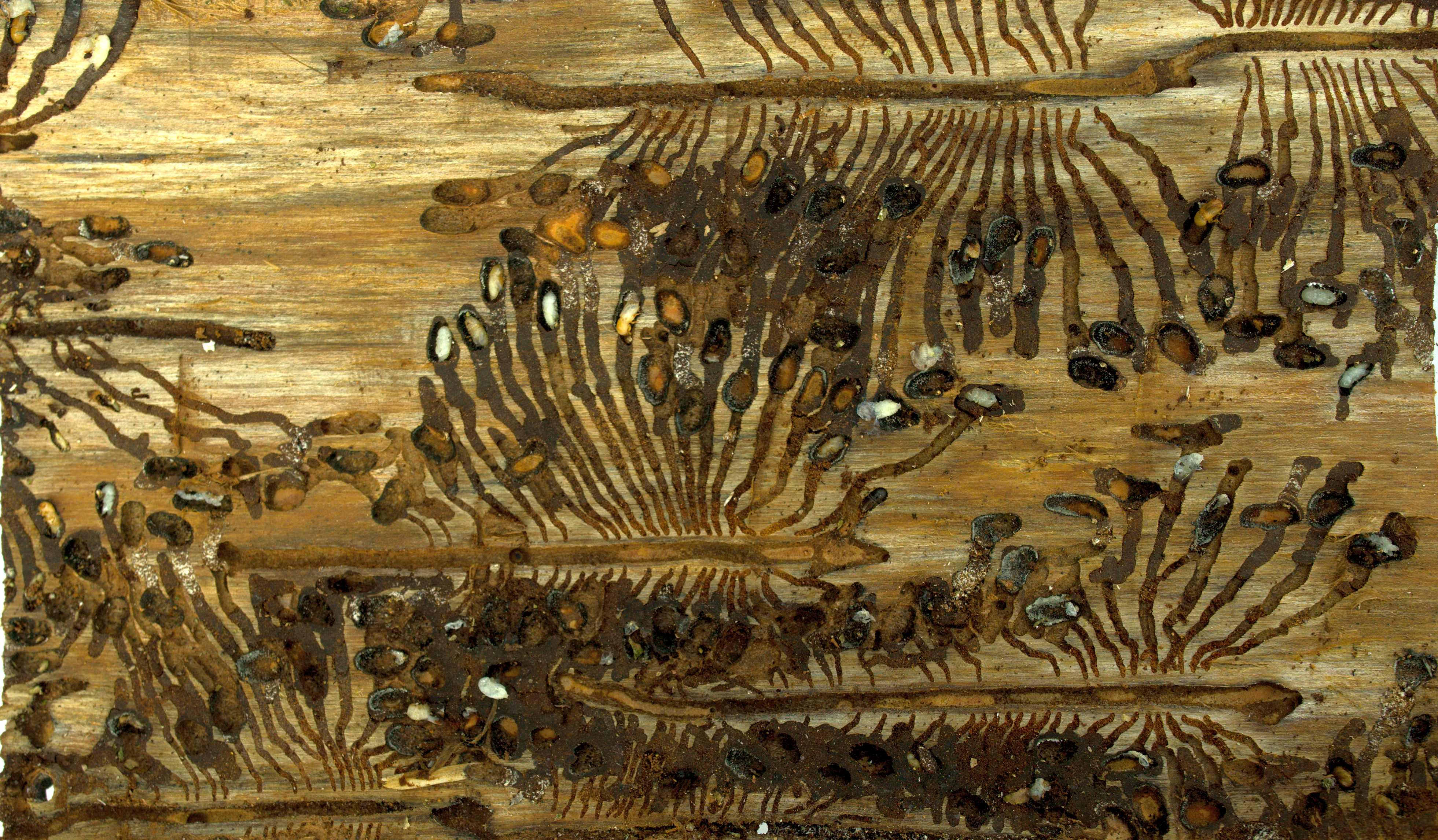 Galleries of the spruce bark beetle Ips typographus with larvae. Photo: Roman Modlinger.