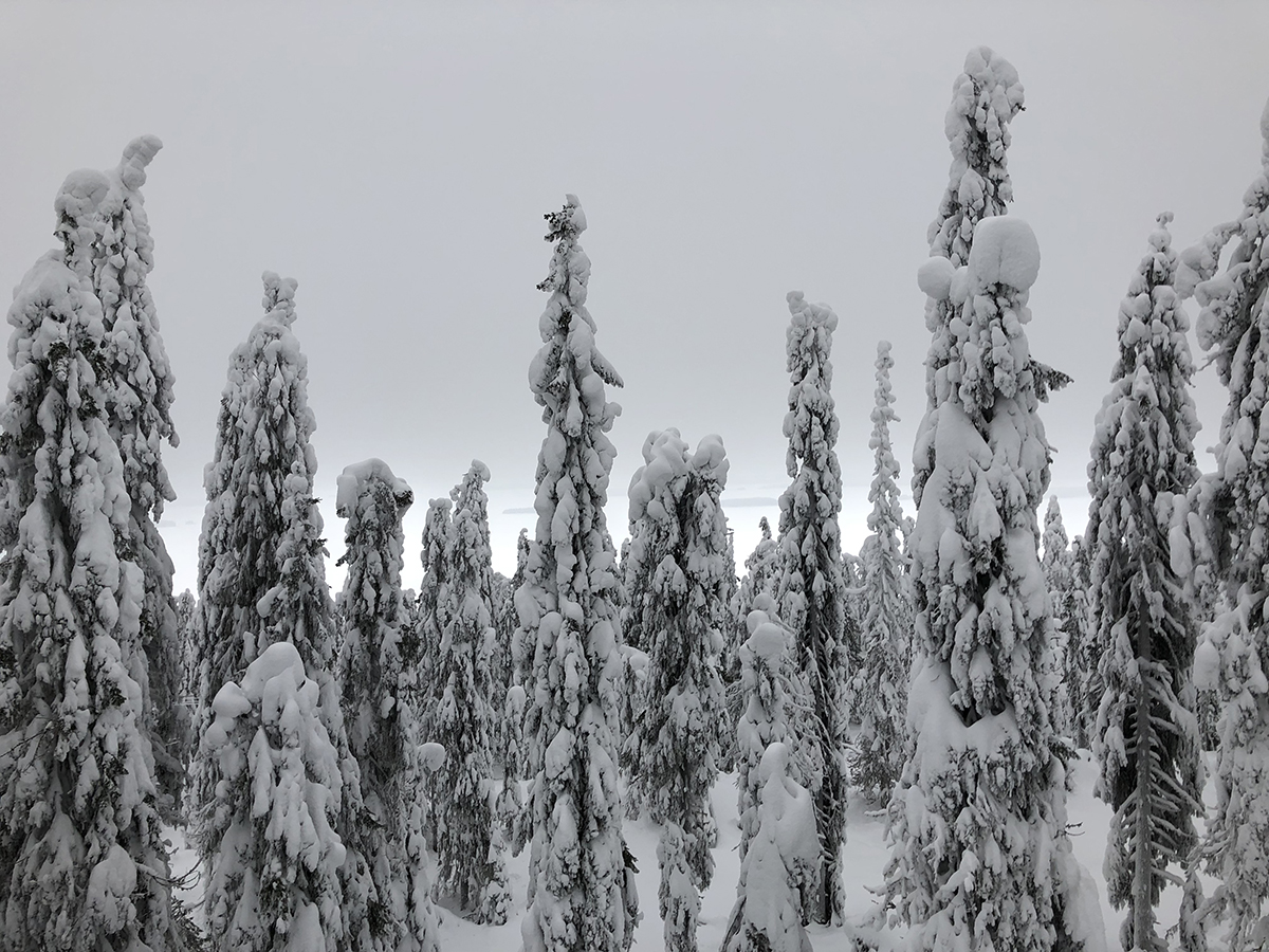 Winter forest in Koli