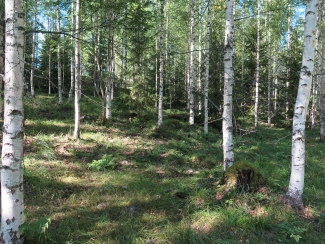 Mixed birch forest grazed by sheep 2018 Vaahermaki